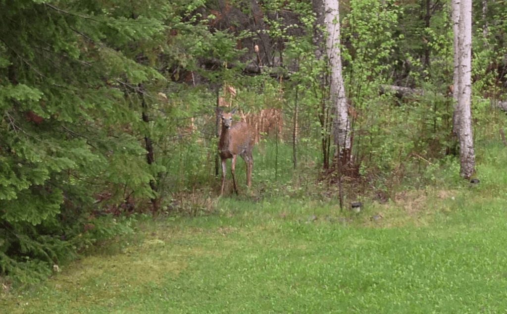Deer eating fresh shoots in yard in Hillside Beach, Mb